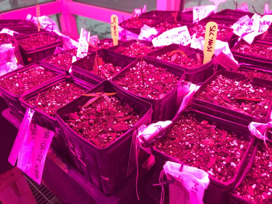 The American Chestnut seedlings in their pots