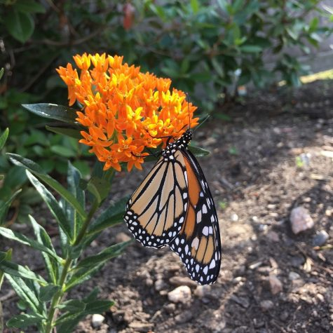 A monarch butterfly feeding on the nectar of butterfly weed, Asclepias tuberosa, in the garden next to Siena Hall. Photo courtesy of Olivia Scott, Class of 2020.